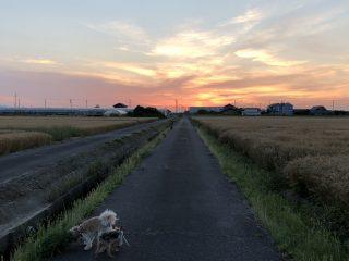 散歩道赤松の夕陽